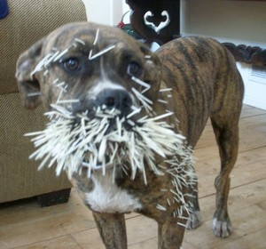 Dog_meets_porcupine_CCdaisyelaine