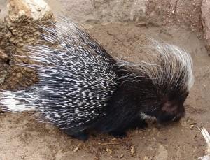 porcupine_CCDrew_Avery