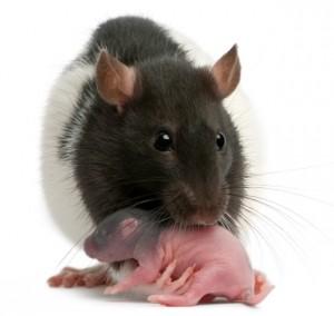 rat-grooming-baby